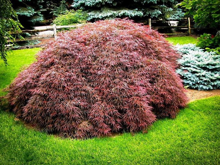 Buy Tamukeyama Japanese Maple Online. Arrive Alive Guarantee. Free Shipping On All Orders Over $99. Immediate Delivery.