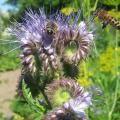 pszczoła zbierająca miód