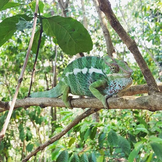 We recently caught a female panther chameleon on camera laying eggs. Read more about it and check out the video by clicking on the pic... #MRCI #MadagascarVolunteer