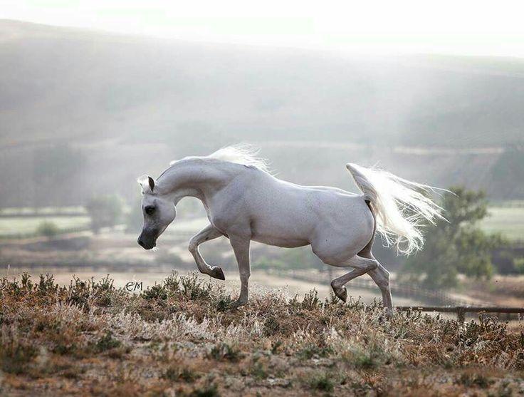 Arabian Horse in Landscape