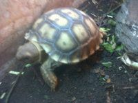 Baby Sulcata Tortoises For Sale - £100 UK Baby Hatchlings at Pets FREE Classifieds