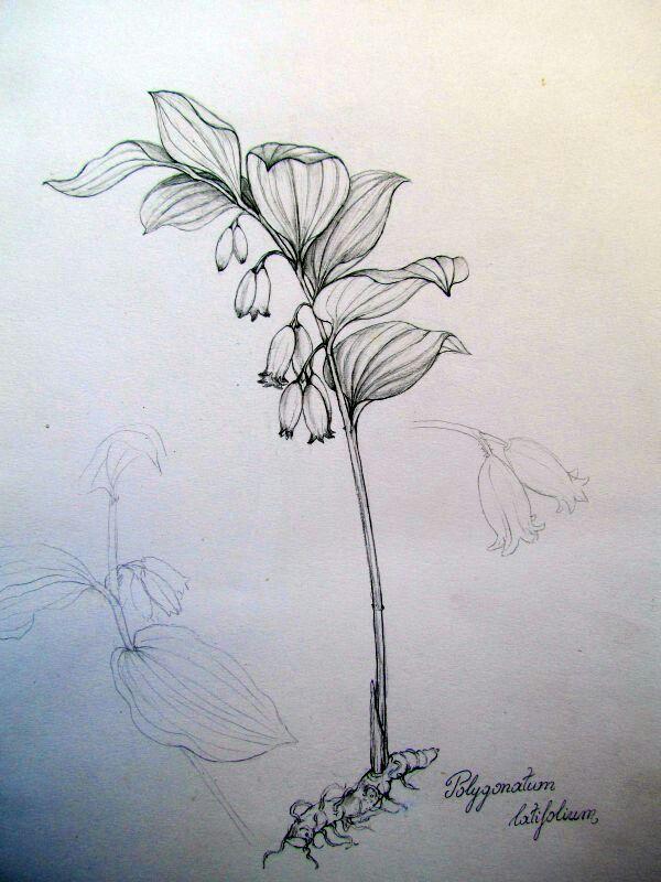 Polygonatum latifolium botanical drowing by Gábor Emese Hungarian artist…
