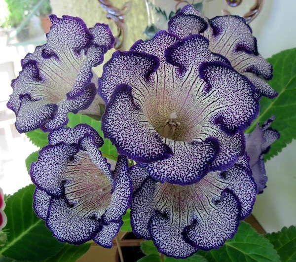Тигрина Фаворит Очень крупные бело-кремовые простые цветы, в густой фиолетово-чернильный крап, волнистая тонкая кайма. Из горла на каждый лепесток идут три вертикальные, фиолетовые полоски.