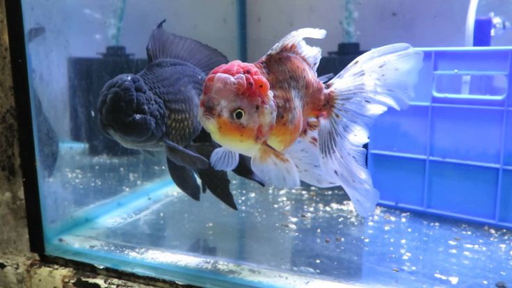 17 best images about goldfish on pinterest auction for Where to fish near me