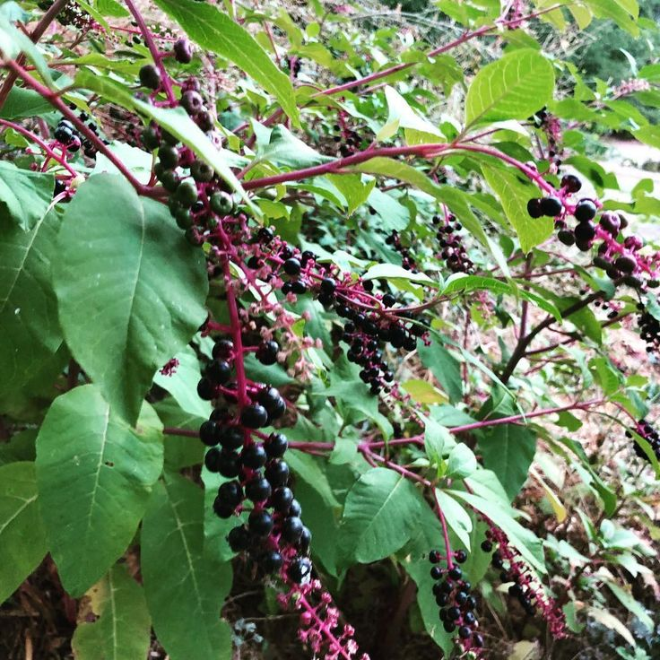 7 easy steps how to get rid of pokeweed plant leaves
