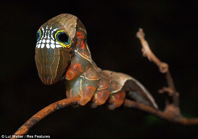 Moth larvae's bony face makes it look fierce (but it's just skullduggery to deter predators) Rare animal has teeth-like markings on its head uncannily like a human skull. Believed to exist in only five locations in the southern hemisphere