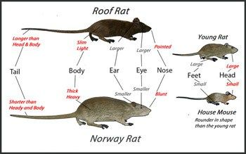 Rodent Control #get #rid #of #rats, #how #to #get #rid #of #rats, #rat #bait, #rat #cages, #rat #poisons, #rat #trap #bait, #rat #trapping, #rat #traps, #roof #rats, #rats, #mice http://pennsylvania.nef2.com/rodent-control-get-rid-of-rats-how-to-get-rid-of-rats-rat-bait-rat-cages-rat-poisons-rat-trap-bait-rat-trapping-rat-traps-roof-rats-rats-mice/  # Rodent Control The word rodent means to to gnaw . We will mostly be discussing the type of rodents called commensal rodents . The word…