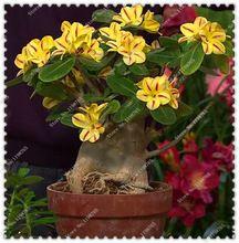 5 шт./пакет Adenium Obesum Desert Rose Двойной Семена Комнатные Цветы Семена, растения бонсай дома сад(China (Mainland))