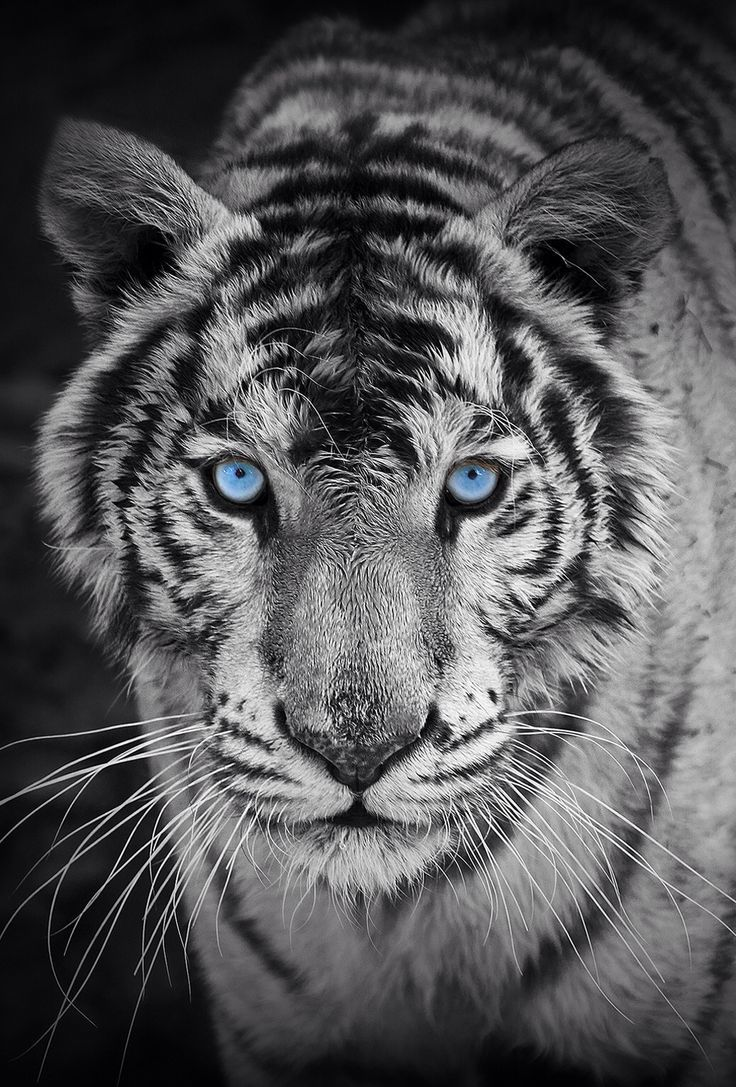best 25 tiger wallpaper ideas on pinterest tiger