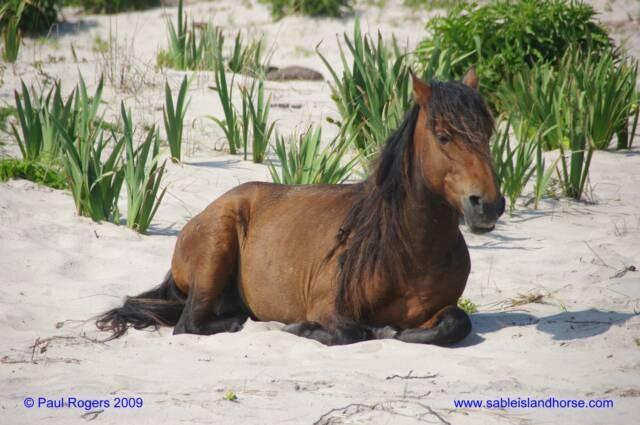 Wild Horse, Sable Island