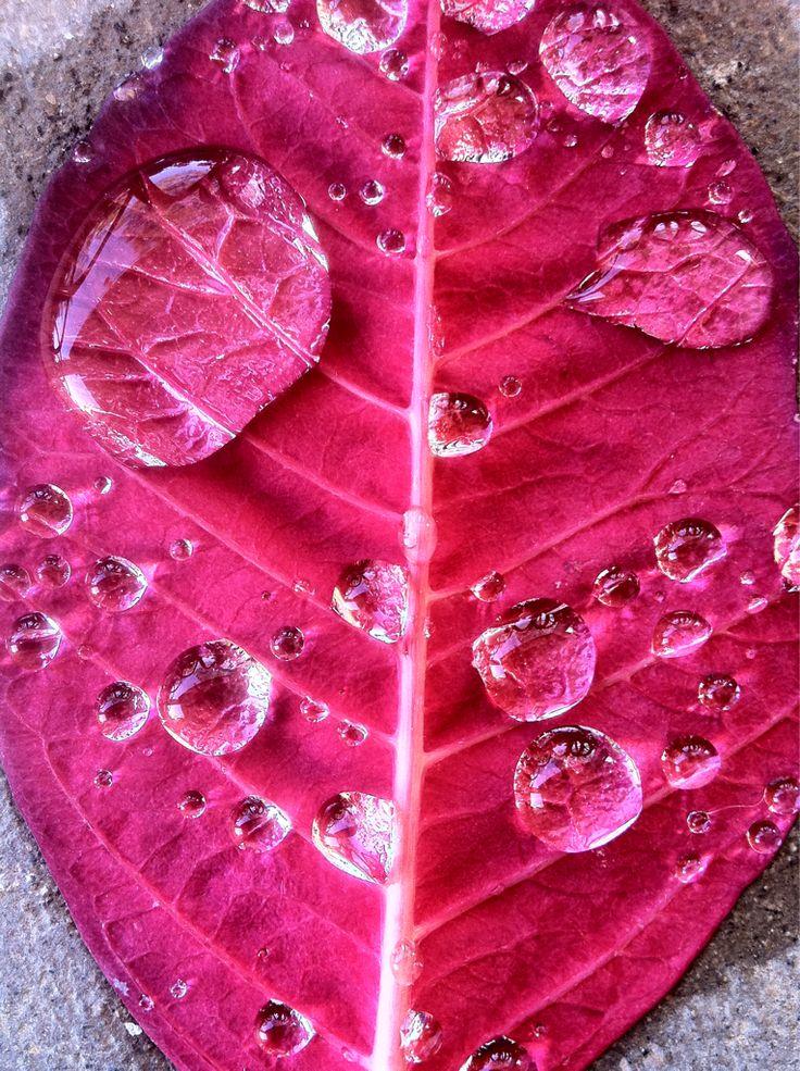 Fucsia Leaf