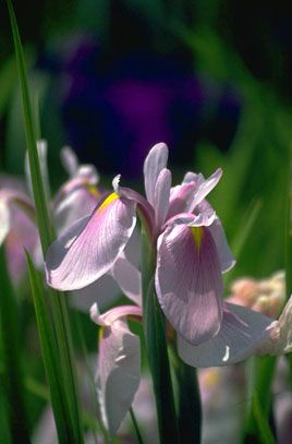 (BG11) Iris ensata 'Rose Queen'