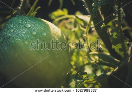 Unripe green tomato with morning dew drops filtered close up.