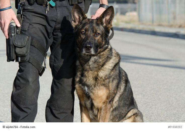 Deutsche Schäferhunde sind durch ihr tapferes und konzentriertes ...