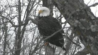 Live Bald Eagle Cam - Decorah, Iowa