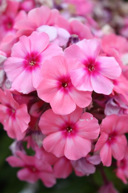 Common Garden Flowers Pink 94 best perennials for 2015 images on pinterest | perennials