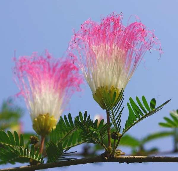 Shuttlecock flower, Assam