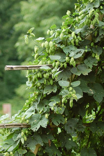 """Hop - Humulus lupulus (Onze groenten en onze wilde vruchten bij de keuken aangepast - A. Bracke 1941) """"Van het oogenblik dat de bladeren zich beginnen te ontwikkelen mogen de scheuten - voor de keuken - niet meer geplukt worden."""" """"Gekookt of onder vorm van sla zijn de hopscheuten lekker en gezond."""" """"Men mag op de hopscheuten, al de recepten, die gebruikt worden bij het klaarmaken van aspergen, toepassen."""""""