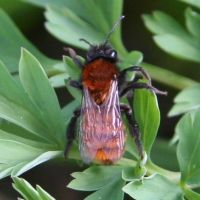 Other bees | Tawny mining bee (Andrena fulva)