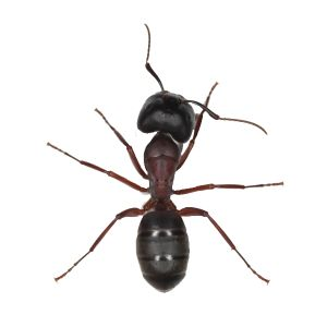 Quelle que soit la période de l'année, vous pourriez apercevoir la présence de fourmis à votre domicile. À première vue inoffensives, les fourmis peuvent non seulement se répandre très rapidement partout dans votre demeure mais elles peuvent également endommager la charpente de celle-ci. D'où l'importance de faire appel à des experts afin les exterminer au plus vite!