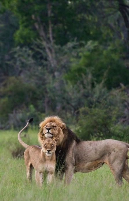 "A Proud Male Lion ~  ""Meet My Wife: 'Lois.'  Gorgeous Isn't She?"""