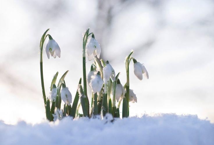 Sněženky kvetou od počátku února do dubna.
