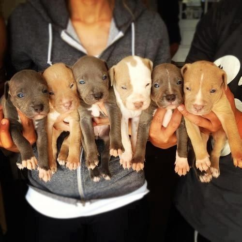 """Handfuls of Pitbull Puppies"" I'm channeling my inner desires through these puppy pictures! I need a pitbull in my lifetime."