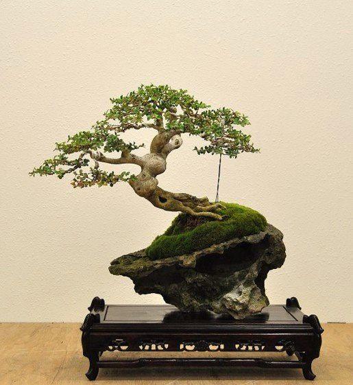 1000 ideas about bonsai ficus on pinterest bonsai bonsai trees and jade bonsai. Black Bedroom Furniture Sets. Home Design Ideas