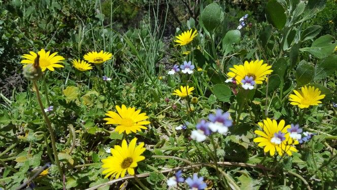 Wild flowers in Betty's Bay