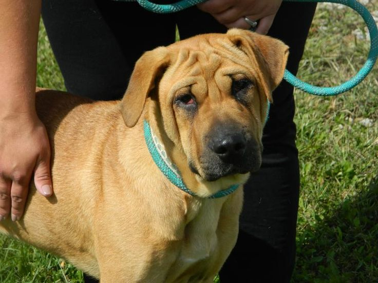 Roxy is an adoptable Shar Pei searching for a forever family near Waverly, OH. Use Petfinder to find adoptable pets in your area.