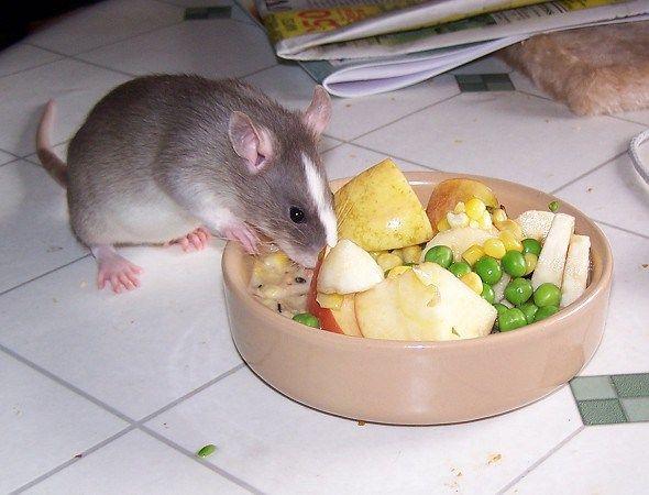 Que comen los ratones domésticos