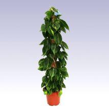 Zöld filodendron, Philodendron scandens 90 cm mohakarós 17cs