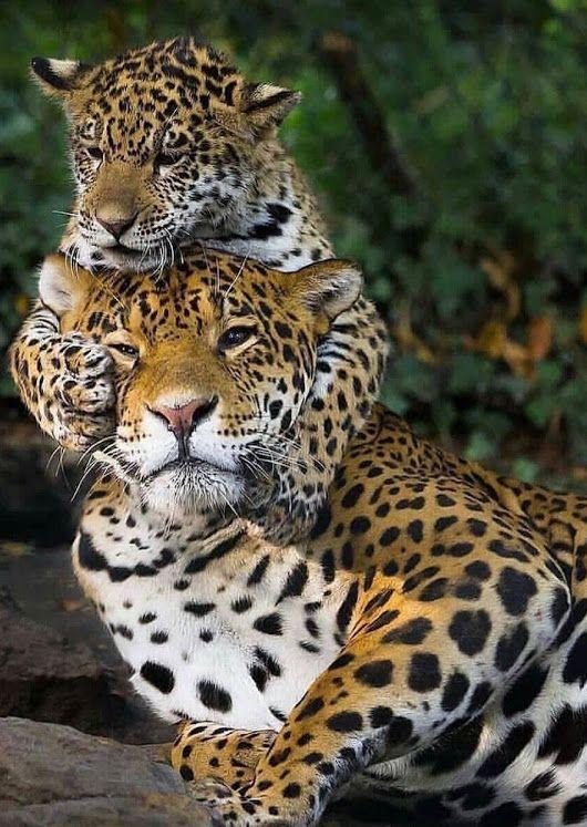 Картинки леопард тигр