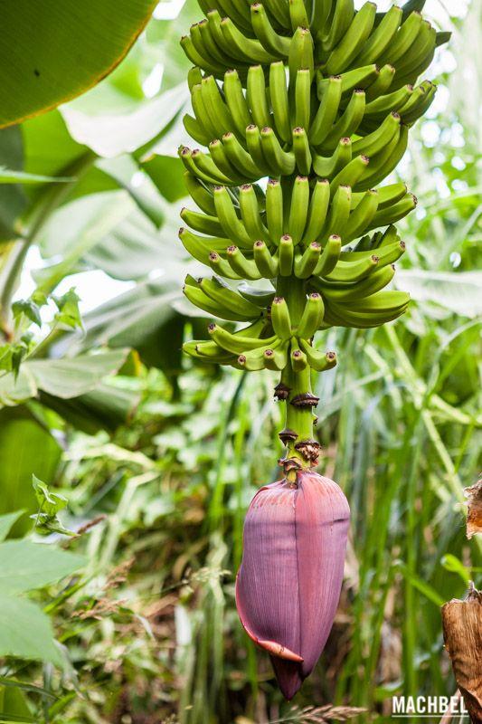 Fruto del platanero Ecofinca Platanológico en La Palma Islas Canarias España by machbel