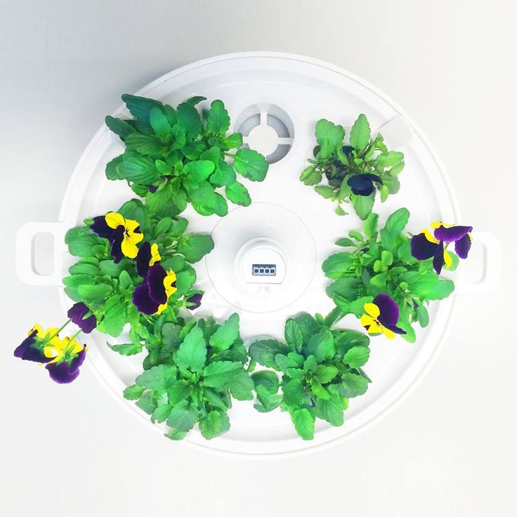 Growing facts: Plantui Viola - Germination time 7-9 days - Growing very slow in the first 2 week. Height only 1-2 cm. - Add first Height Block™ in 2-2,5 weeks after the planting - The approximate height 3-4 cm in 4 weeks after the planting - First flowers in 5-6 weeks after the planting  NOTE: The Plantui Violas produce more flowers if you harvest them! New flowers appear soon after harvesting the old flowers.