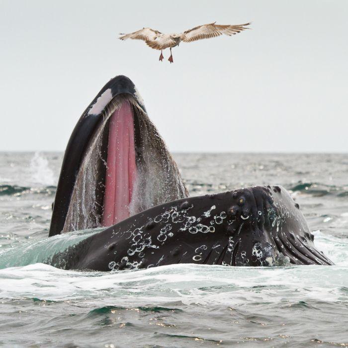 open-mouth-feeding whale
