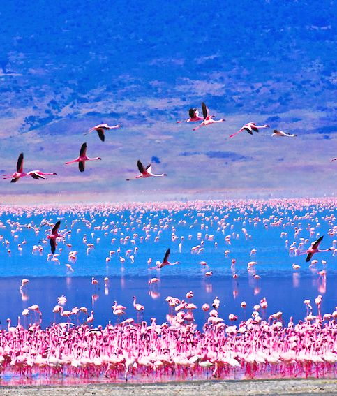 Lake Nakuru is famed for its spectacular pink horizon made up of thousands of flamingos who wade in the alkaline waters feeding on the algae.