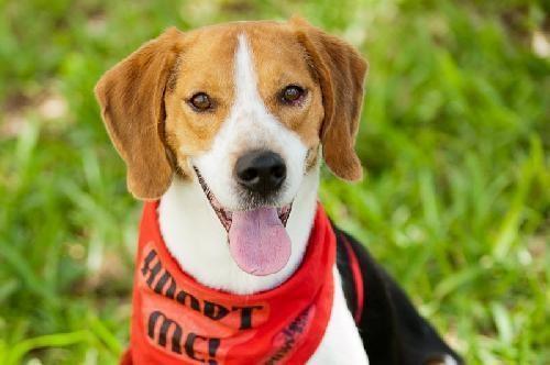 Adorable little guy Bob the Beagle Dog Miami FL