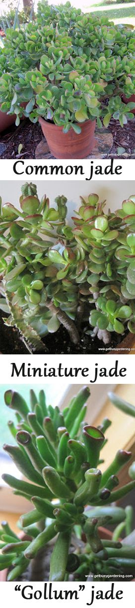 "Three types of jade. This site offers ""Keys to success with Jade Plants"" and more information."