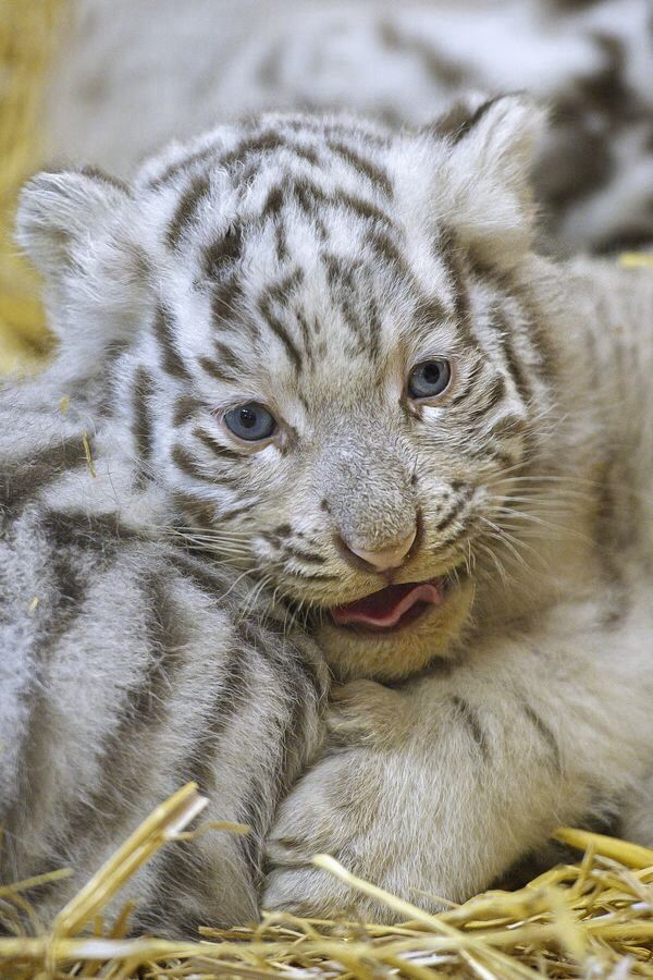 white tiger holding baby - photo #14