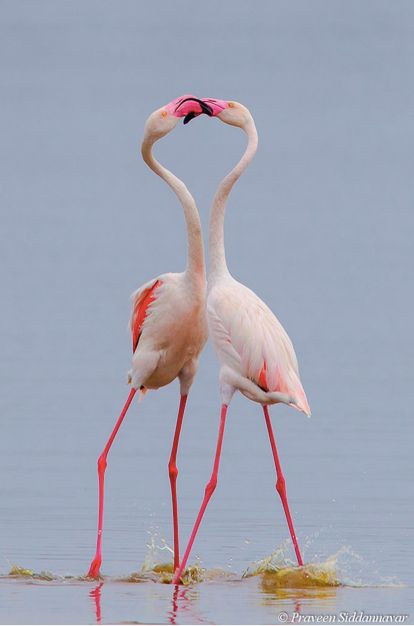 "beauty-belleza-beaute-schoenheit: "" Stunning Greater Flamingos """