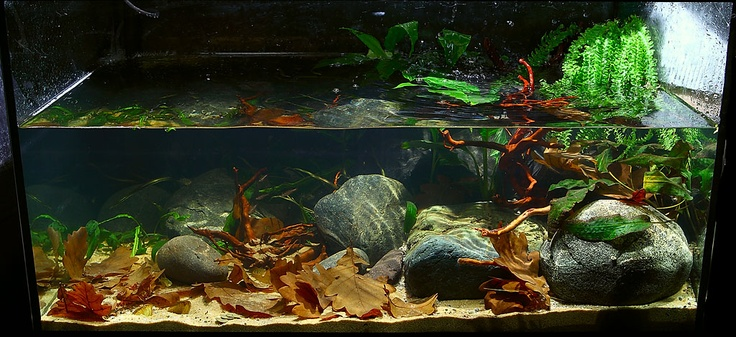 1000 images about biotope aquariums on pinterest for Carpe koi aquarium 300 litres