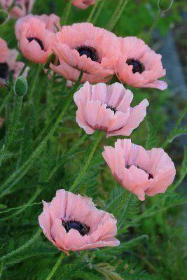 ECIB: Papaver orientale 'Springtime' Pale pink poppies.