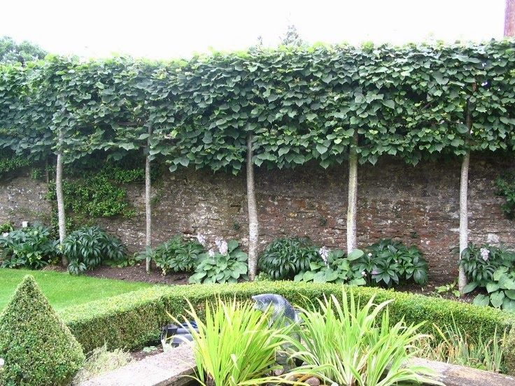 Ivy Clad Privacy By Pleaching An Undesirable View Is