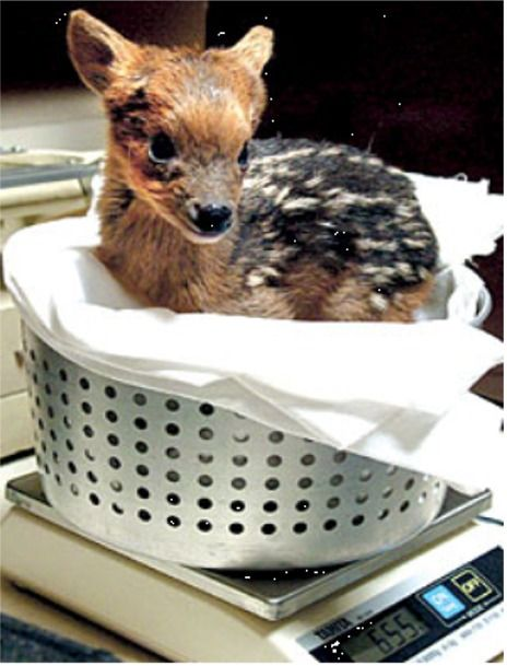 Baby Pudu in a laundry basket! Machine wash not recommended, 100% adorable.