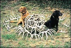 A Nose for Shed Antlers - A really good read about shed hunting dogs.    www.usatrophyhunt...