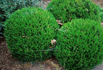 Buxus microphylla var. koreana 'Winter Green' - sun/ps, 3-4x3-4, e/green, avg moisture. STAYS GREEN in winter instead of turning ugly bronze.