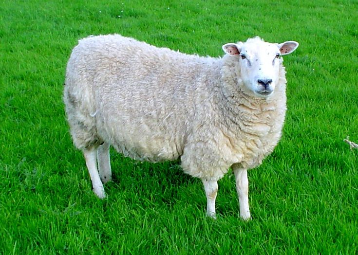 04/20/2015 Sheep (n): An animal with a thick woolly coat that is often raised for meat or for its wool and skin.