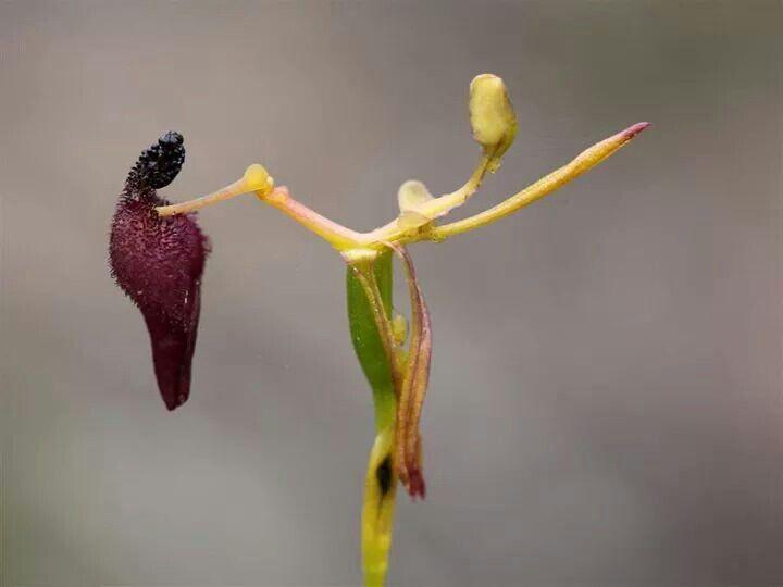Brzydal wśród pięknych!  Wszyscy jesteśmy przyzwyczajeni do dużych, barwnych kwiatów storczyków, które przez długi czas zdobią nasze mieszkania i biura. Ten został przeze mnie uznany za czarną owcę w rodzinie Storczykowatych. Niepozorny, malutki storczyk pochodzący z Australii, jest tak brzydki, że musiał znaleźć sposób na to żeby został zapylony;) Naśladuje on samicę jednej z błonkówek, która na szczycie roślin czeka na samca w celu kopulacji. Samiec zwabiony zapachem próbuje schwycić…