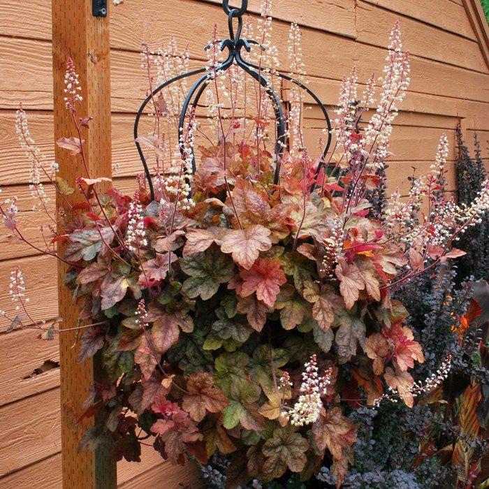 Heuchera Redstone Falls 2 Pre-Planted Containers   Perennials   Gardening Direct